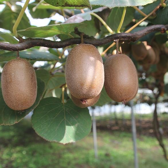 Kiwifruit Growing