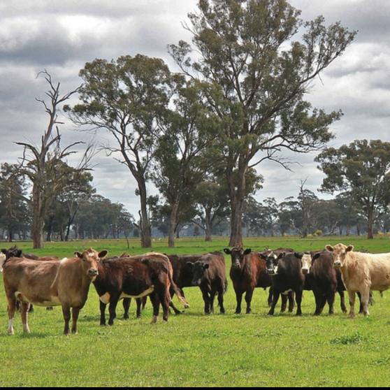 Beef Cattle Farming